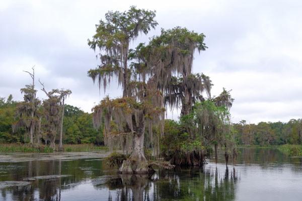 Wakulla State Park's Spanish moss covered tree