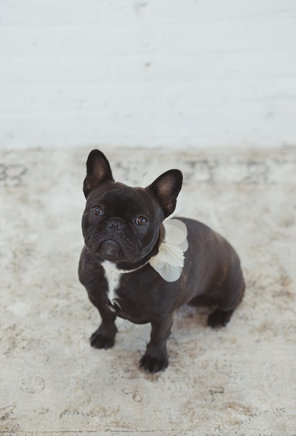French bulldog in wedding collar by Hushed Commotion