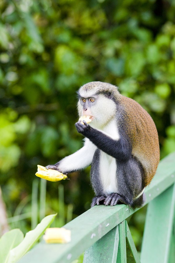 Mona monkey eating a piece of fruit in Grand Etang National Park