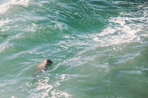 seal swimming in the Pacific Ocean near La Jolla, CA