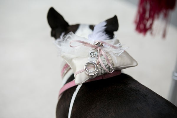 Boston Terrier pet acts as ring bearer with pillow attached to collar