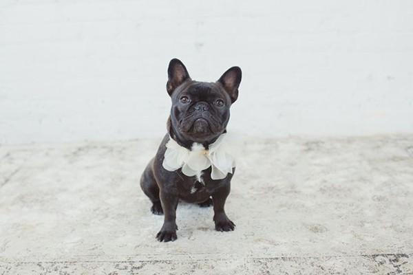 French bulldog with wedding collar